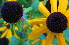 Rudbeckia in full glory